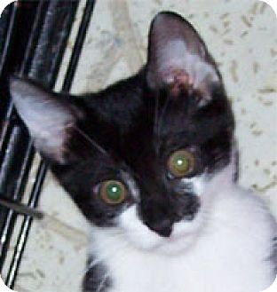 Domestic Shorthair Cat for adoption in Garland, Texas - Lt.