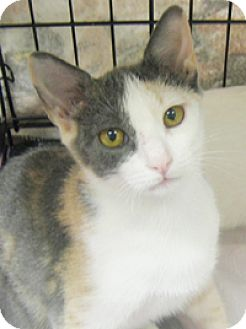 Calico Cat for adoption in Garland, Texas - Patches