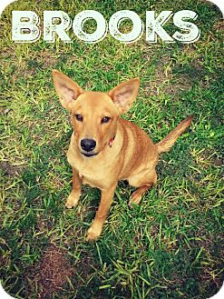 Carolina Dog Mix Puppy for adoption in Cranston, Rhode Island - Brooks (fostered in TX)