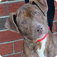 Pit Bull Terrier Mix Dog for adoption in Harrison, New York - Sammi