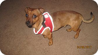 Dachshund/Maltese Mix Dog for adoption in Vallejo, California - SunnyBoy