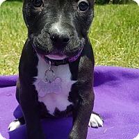 Adopt A Pet :: Tea Rose-Adopted! - Detroit, MI