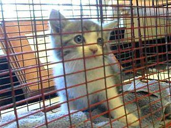 Domestic Mediumhair Kitten for adoption in Sacramento, California - *OLIVER