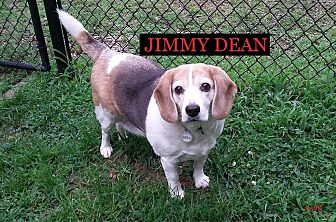 Beagle Dog for adoption in Ventnor City, New Jersey - JIMMY DEAN