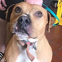Adopt A Pet :: Bugsy - Brooklyn, NY