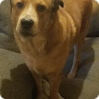 Adopt A Pet :: LA-Bec DOG - Devon, PA
