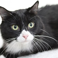 Maine Coon Cat for adoption in Raleigh, North Carolina - Creedmoor