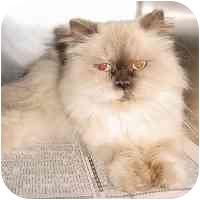 Himalayan Cat for adoption in North Wilkesboro, North Carolina - Jasmine
