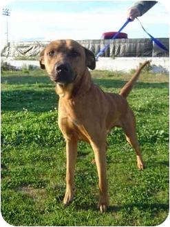 Rhodesian Ridgeback/Labrador Retriever Mix Dog for adoption in Freeport, New York - Rusty