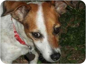 Jack Russell Terrier Dog for adoption in Terra Ceia, Florida - JESSE