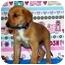 Photo 1 - Shepherd (Unknown Type)/Australian Cattle Dog Mix Puppy for adoption in Broomfield, Colorado - Winnie Mae