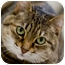 Photo 1 - Domestic Shorthair Cat for adoption in Chicago, Illinois - Simba