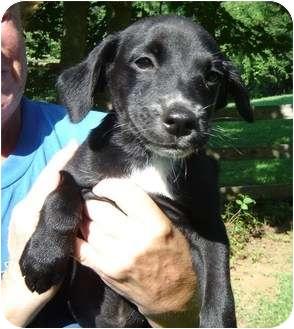 Border Collie/Springer Spaniel Mix Puppy for adoption in Bel Air, Maryland - Dallas