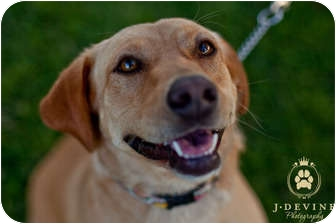 Labrador Retriever Mix Dog for adoption in Seattle, Washington - Crystal
