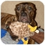 Photo 2 - Boxer/American Pit Bull Terrier Mix Dog for adoption in Griffith, Indiana - Grizzly
