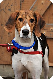 Hound (Unknown Type)/Beagle Mix Dog for adoption in Bellingham, Washington - Skeeter