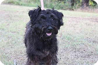 Cockapoo/Poodle (Miniature) Mix Dog for adoption in W. Warwick, Rhode Island - R.I. CHARLIE
