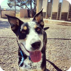 Cattle Dog Mix Dog for adoption in Edgewood, New Mexico - Kaiden