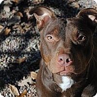 Adopt A Pet :: Cherry Darling - Vernon Hills, IL