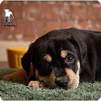 Adopt A Pet :: Kolin - Rochester, NY