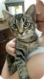 Domestic Shorthair Cat for adoption in Charlotte, North Carolina - A..  Meghan