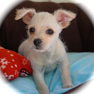 Jack Russell Terrier/Terrier (Unknown Type, Small) Mix Puppy for adoption in La Habra Heights, California - Lil Bro
