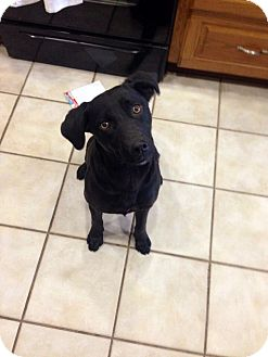 Labrador Retriever Mix Dog for adoption in Hensley, Arkansas - Sally