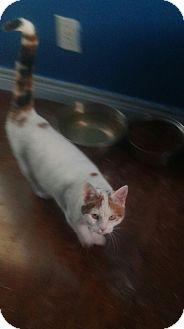Domestic Shorthair Cat for adoption in Treton, Ontario - Nala