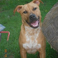 Pit Bull Terrier Dog for adoption in Loganville, Georgia - Henry