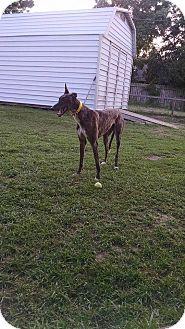 Greyhound Dog for adoption in Nederland, Texas - GLS Jorgeharison