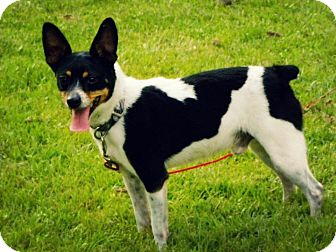 Rat Terrier Dog for adoption in Franklin, Virginia - Buddy