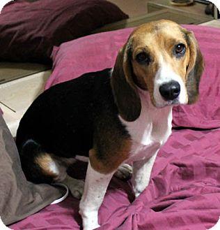 Beagle Dog for adoption in Houston, Texas - Buffy