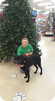 Labrador Retriever Mix Dog for adoption in Frankfort, Illinois - Teddy
