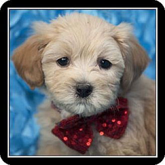Maltese/Poodle (Miniature) Mix Puppy for adoption in San Diego, California - Ariel