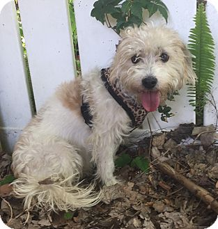 Maltese/Beagle Mix Dog for adoption in Palm Harbor, Florida - Cloe