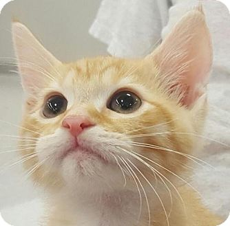 Domestic Shorthair Kitten for adoption in Fenton, Missouri - AMUN