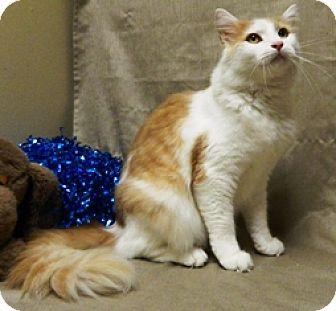 Domestic Shorthair Cat for adoption in Columbus, Nebraska - Ricky