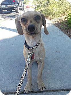 Dachshund/Chihuahua Mix Dog for adoption in Las Vegas, Nevada - Merlin