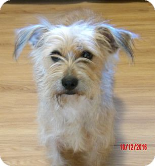 Glen of Imaal Terrier/Norfolk Terrier Mix Dog for adoption in West Sand Lake, New York - Juliet(16 lb) Close To Perfect