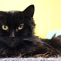 Domestic Longhair Cat for adoption in Pittsburg, Kansas - Sunnie