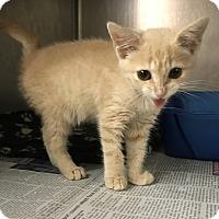 Adopt A Pet :: Marmalade - Newport, NC