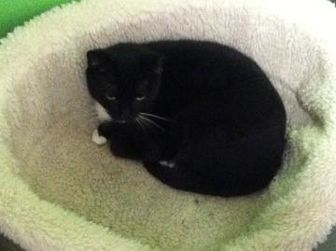 Domestic Shorthair/Domestic Shorthair Mix Cat for adoption in Greensboro, North Carolina - Cher