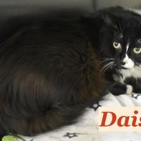 Adopt A Pet :: Daisy - Port Hope, ON