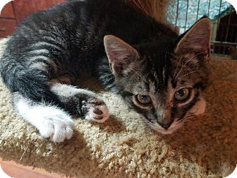 American Shorthair Kitten for adoption in Walla Walla, Washington - Cloudy