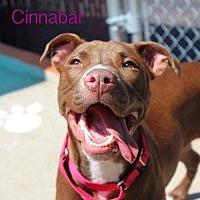 Adopt A Pet :: Cinnabar - St. Louis, MO