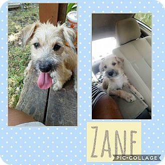 Terrier (Unknown Type, Small) Mix Puppy for adoption in Redmond, Washington - Zane