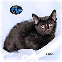 Domestic Shorthair Kitten for adoption in Howell, Michigan - Finn