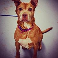 Adopt A Pet :: Trixie - Uwchland, PA
