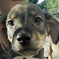 Adopt A Pet :: Baby Jefferson - Oakley, CA