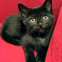 Adopt A Pet :: Avanti - Mississauga, Ontario, ON